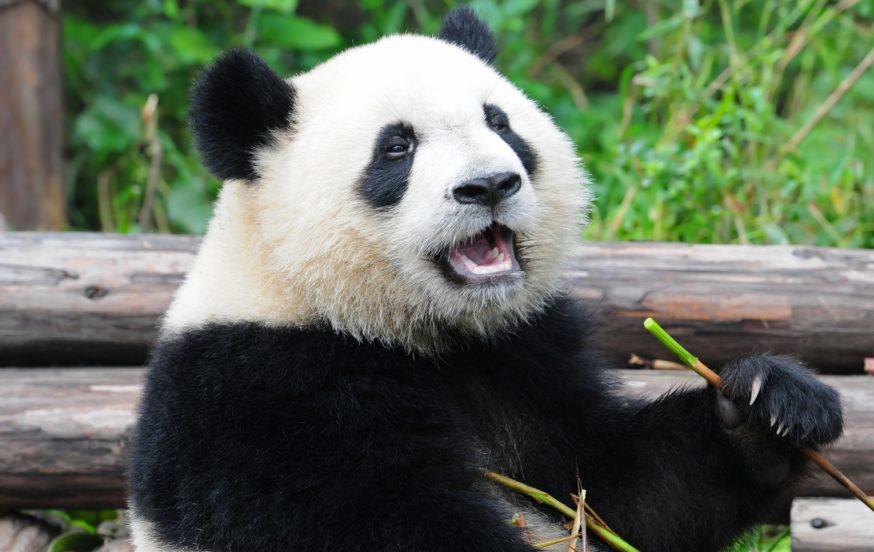 Giant Panda China