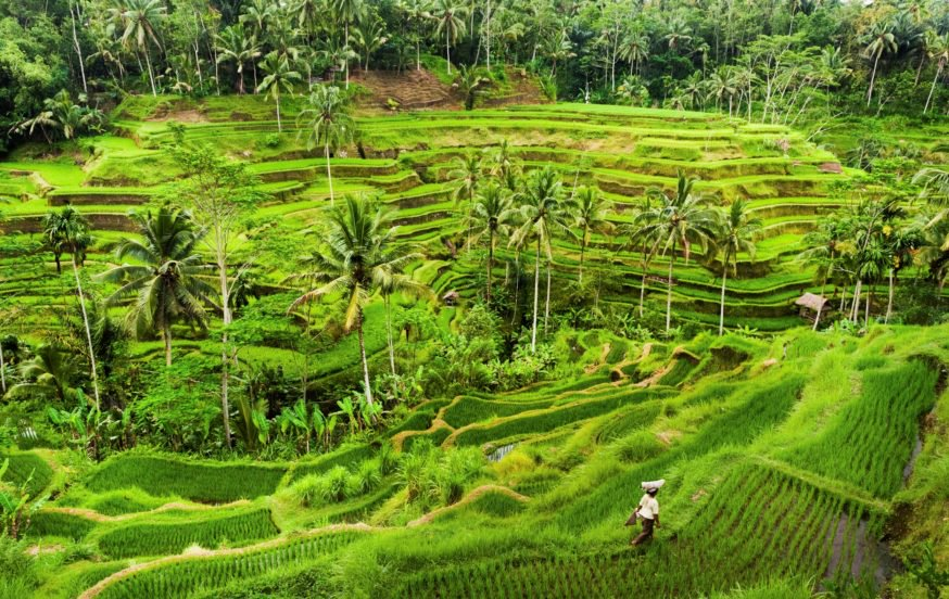 Rice Paddy Fields Bali Indonesia