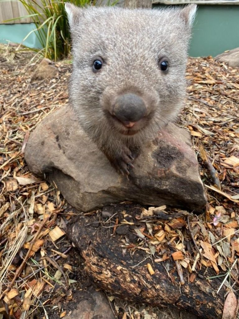 wombat, bonarong sanctuary